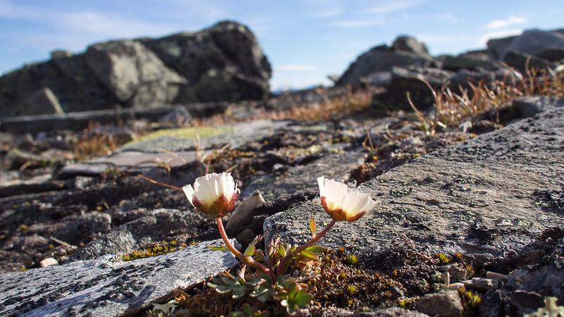 Bergblümchen