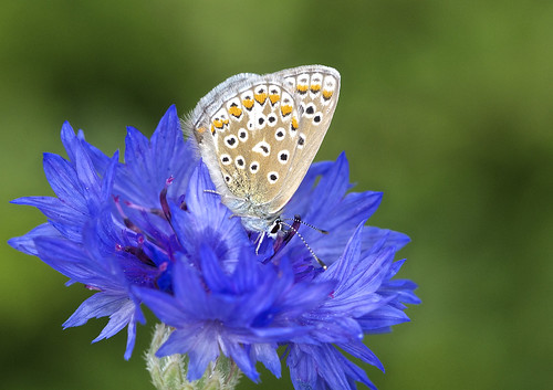Common Blue butterfly ( Polyommatus icarus ) Female