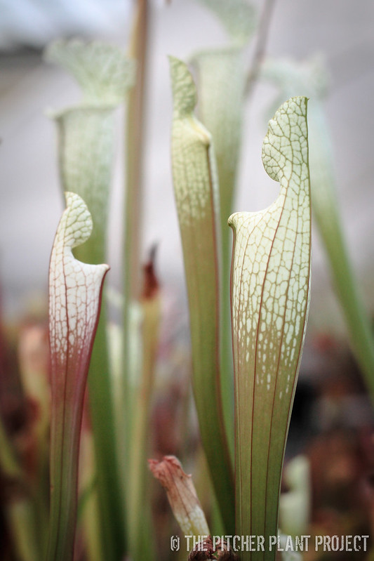 Sarracenia 'Hurricane Creek White' - Clone F