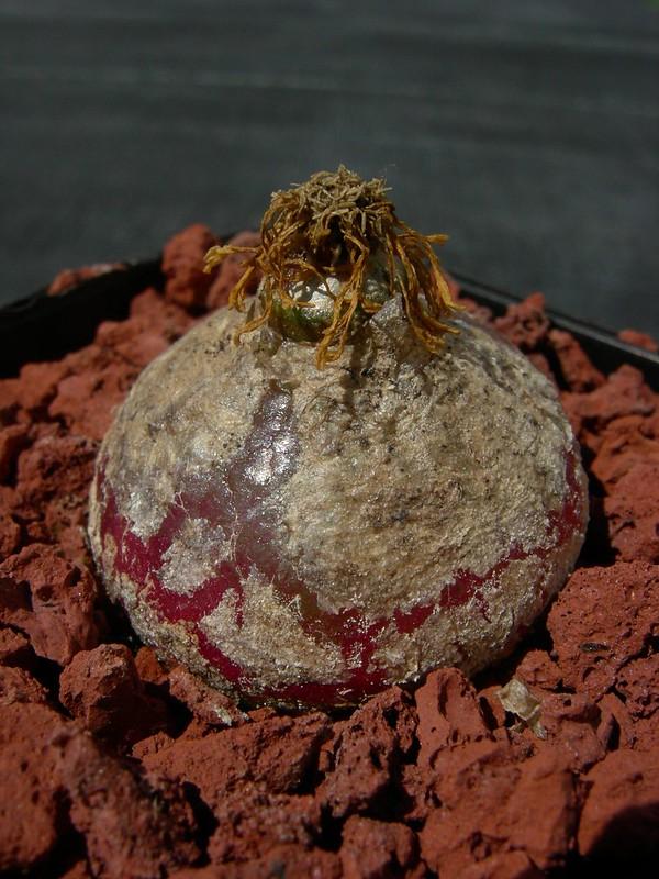 C. burgeri with seedpod