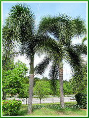 Wodyetia bifurcada (Foxtail Palm), excellent as landscape palm trees