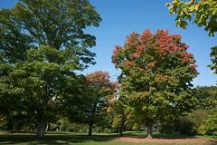 Autumnal sugar maple in the arboretum