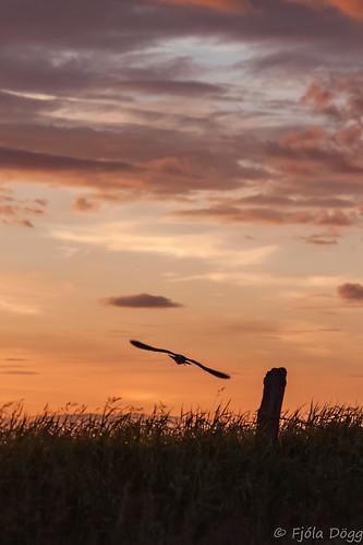 sunset bird nature birds animal canon iceland islandia europa europe sundown outdoor nopeople fugl ísland náttúra islande izland islanda evropa islândia numeniusphaeopus ijsland 50d sólsetur islanti 2013 spói canon50d evrópa izlanda fjoladogg ãsland fjóladögg islann