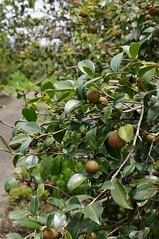 崙山茶樹。(圖片來源:花蓮農改場)