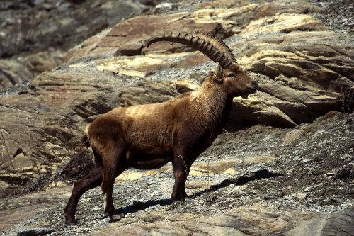 Alpine ibex(アルプス・アイベックス)