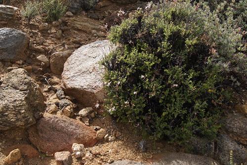 Pelargonium dasyphyllum