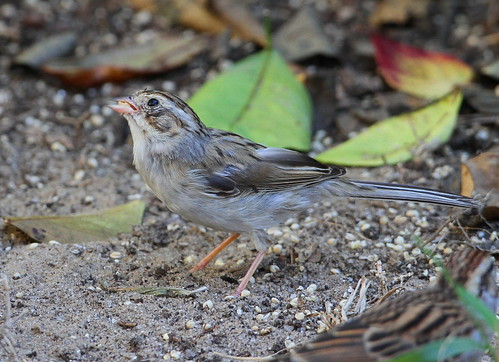UNKNOWN SPARROW 12-9-13 4641
