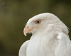 "Leucistic Red-tailed hawk ""Cloud"" (captive) by Moments In Nature by Joshua Clark"