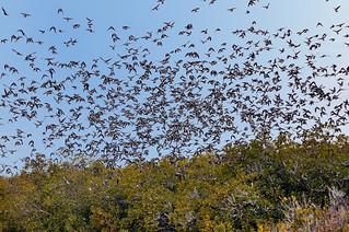 Tree swallow swarm