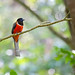 Malabar Trogon Male by V I J U