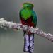 Resplendent-Quetzal by Corey Hayes