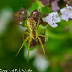 Finnish spiders