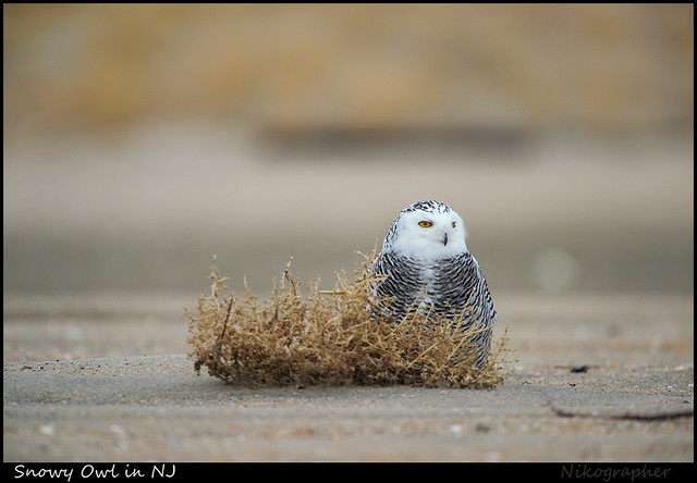 Snowy Owl in NJ