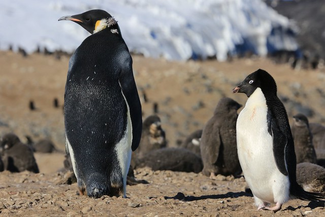 Emperor and Adelie Penguin Cape Bird Ross Island Antarctica