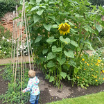 That's a big sunflower