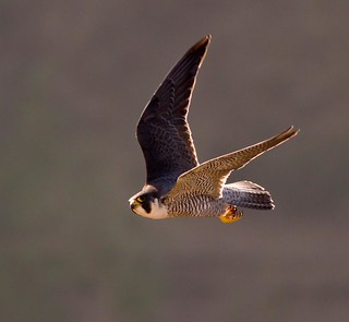 Peregrine Falcon - the look of A killer!!