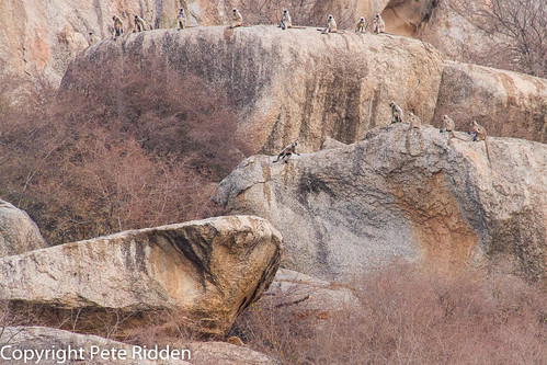 leopard greylangurmonkeys