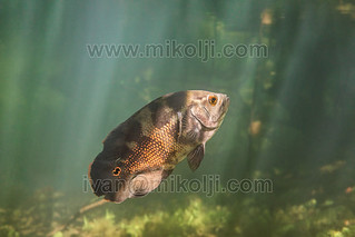 Stock Photo Oscar Cichlid Astronotus sp Venezuela Images DSC09921