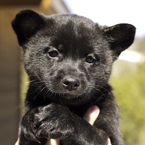 Kumi-Litter4-Day46-Puppy2-Female(Lucy)-1