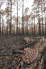 Pigmy Rattlesnake on Prescribed Burn by Mike D. Martin