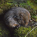 Cute Water Vole