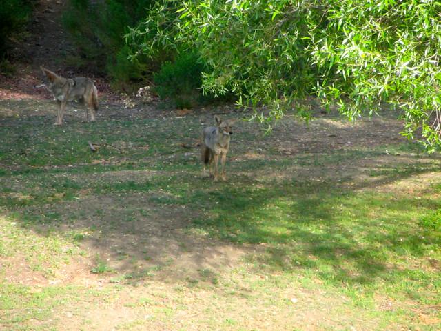 hello, coyotes