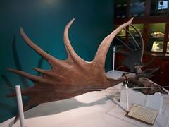 Giant Deer Skeleton, Grant Museum, UCL