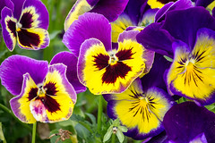 Pansies - Photo of Saint-Priest-d'Andelot