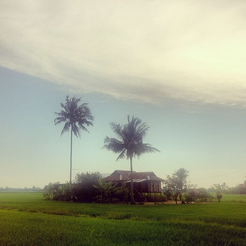 Kampung houses on stilts in a paddy field, Sabak Bernam, Selangor