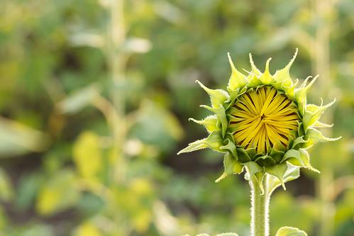 summer md sunny sunflower moldova 2015 hîncești boghiceni