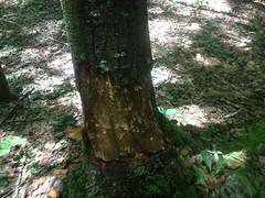 Beaver Maul