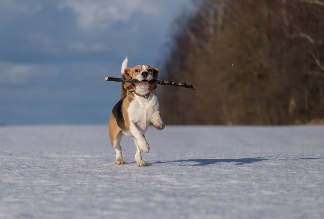 Beagle dog running in the snow