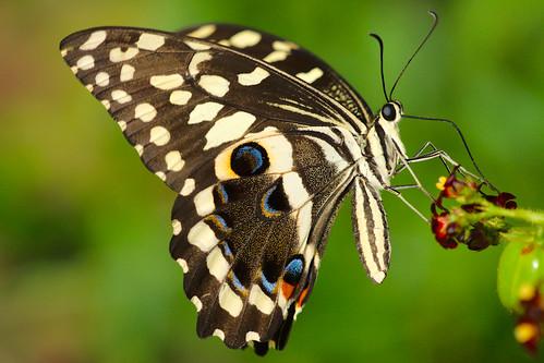 africa butterfly wildlife ghana dodowa paulinuk99999 sal70400g