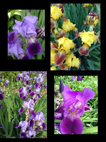 Irises by susanvg