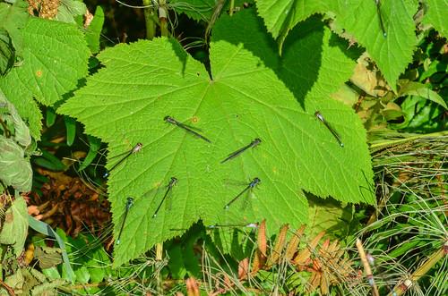 <p><i>Ischnura cervula</i>, Coenagrionidae<br /> Grant Narrows, Pitt Meadows, British Columbia, Canada<br /> Nikon D5100, 70-300 mm f/4.5-5.6<br /> June 30, 2013</p>