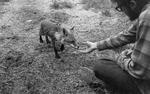 John Atherton feeding Spam to a wild fox at the Kukak Bay, Alaska, archaeological camp in 1964