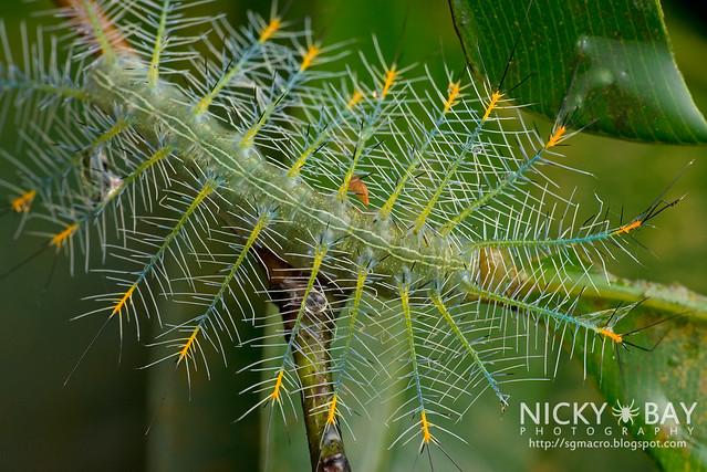 Archduke larva (Lexias pardalis dirteana) - DSC_0817