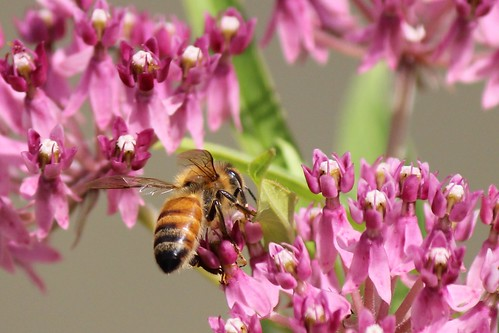IMG_1009_Bee_on_Pink_Flower