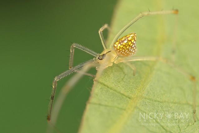 Mirror Comb-Footed Spider (Thwaitesia sp.) - DSC_2914