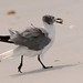 Laughing Gull & sandflea