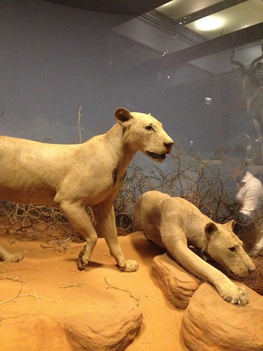 The Lions of Tsavo diorama at The Field Museum.