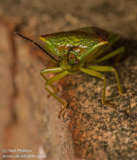 hawthorn shield bug Acanthosoma haemorrhoidale-13