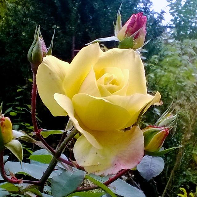 street rose. Lviv, Ukraine
