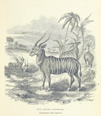 """British Library digitised image from page 387 of """"Explorations and adventures in Equatorial Africa; with accounts of the manners and customs of the people and of the chace of the gorilla, crocodile, leopard, elephant, hippopotamus and other animals. (Seco"""
