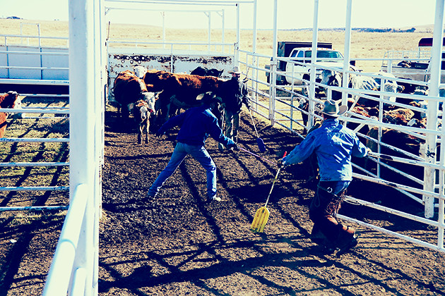Working Calves