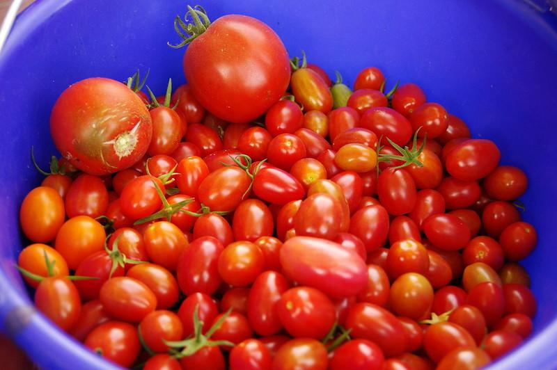 鄉下採蕃茄