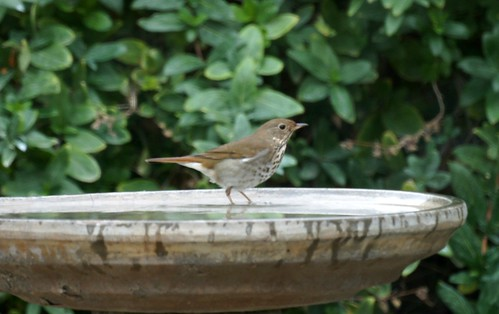 Hermit Thrush by Mike's Birds
