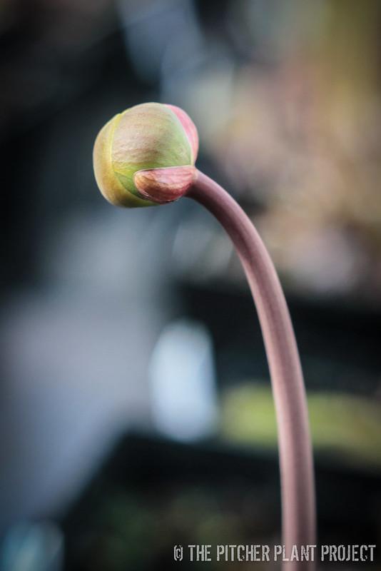 "Sarracenia flava ""Powhatan"""