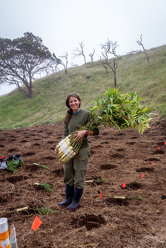Staff member, Laura Berthold with a bundle of koa plants.