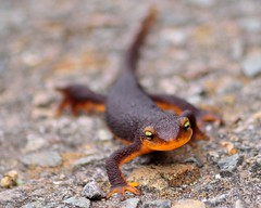 animal, amphibian, newt, lissotriton, fauna, close-up, salamandra, wildlife,